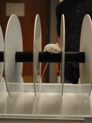 A mouse on the rotarod